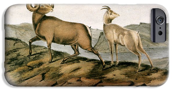 Audubon iPhone Cases - Rocky Mountain Sheep, 1846 iPhone Case by Granger