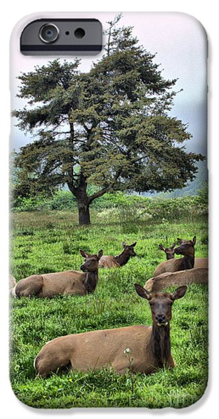 Roosevelt Elk Lounging iPhone Case by Nena Trapp