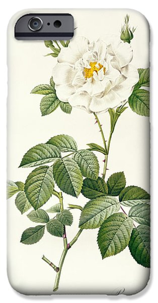 Flowers Drawings iPhone Cases - Rosa Alba flore pleno iPhone Case by Pierre Joseph Redoute