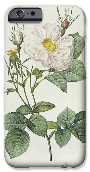 Plant Drawings iPhone Cases - Rosa Alba Foliacea iPhone Case by Pierre Joseph Redoute