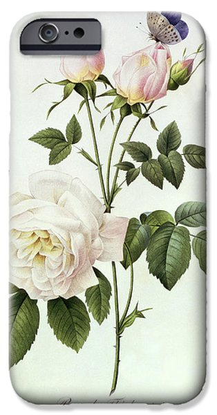 Botanical Paintings iPhone Cases - Rosa Bengale the Hymenes iPhone Case by Pierre Joseph Redoute