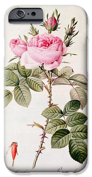 Langlois iPhone Cases - Rosa Bifera Officinalis iPhone Case by Pierre Joseph Redoute