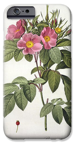 Plant Drawings iPhone Cases - Rosa Carolina Corymbosa iPhone Case by Pierre Joseph Redoute