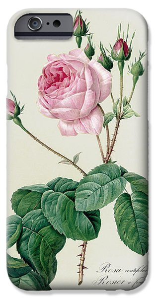 Plant Drawings iPhone Cases - Rosa Centifolia Bullata iPhone Case by Pierre Joseph Redoute
