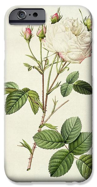 Plant Drawings iPhone Cases - Rosa Centifolia Mutabilis iPhone Case by Pierre Joseph Redoute