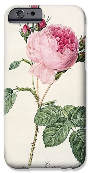 Flowers Drawings iPhone Cases - Rosa Centifolia iPhone Case by Pierre Joseph Redoute