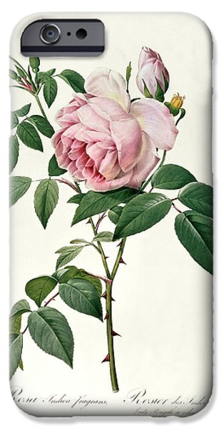 Spring Drawings iPhone Cases - Rosa chinensis and Rosa gigantea iPhone Case by Joseph Pierre Redoute