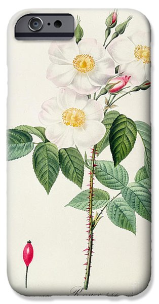 Spring Drawings iPhone Cases - Rosa Damascena Subalba iPhone Case by Pierre Joseph Redoute