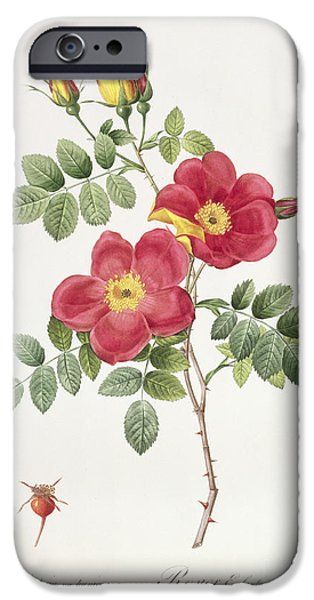 Plant Drawings iPhone Cases - Rosa Eglantera Punicea iPhone Case by Pierre Joseph Redoute
