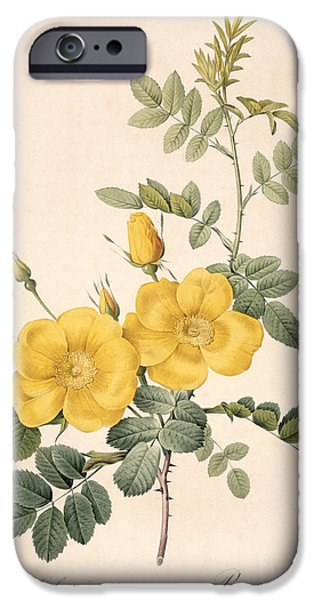 Plant Drawings iPhone Cases - Rosa Eglanteria iPhone Case by Pierre Joseph Redoute