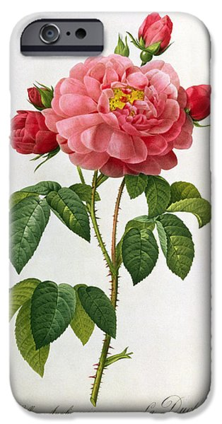 19th Century Drawings iPhone Cases - Rosa Gallica Aurelianensis iPhone Case by Pierre Joseph Redoute