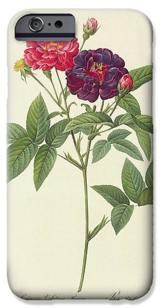 Plant Drawings iPhone Cases - Rosa Gallica Purpurea Velutina iPhone Case by Pierre Joseph Redoute