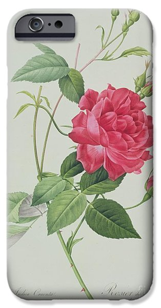 Langlois iPhone Cases - Rosa indica cruenta iPhone Case by Pierre Joseph Redoute