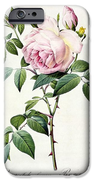 Plant Drawings iPhone Cases - Rosa Indica Fragrans iPhone Case by Pierre Joseph Redoute