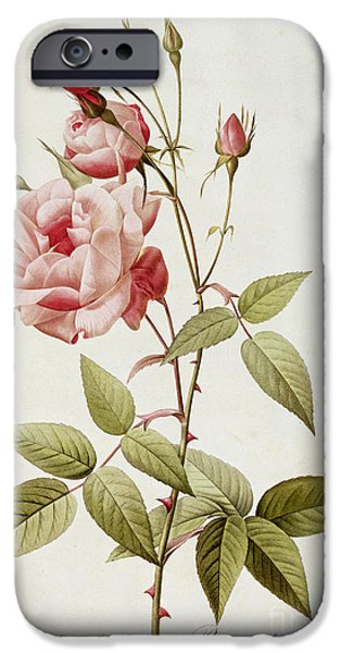 Pink Roses iPhone Cases - Rosa Indica Vulgaris iPhone Case by Pierre Joseph Redoute
