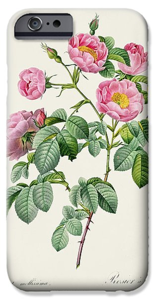 Petals Drawings iPhone Cases - Rosa Mollissima iPhone Case by Claude Antoine Thory