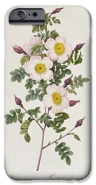 Plant Drawings iPhone Cases - Rosa Pimpinelli Folia Inermis iPhone Case by Pierre Joseph Redoute