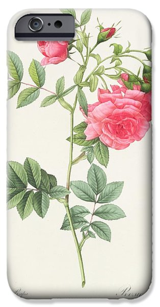 Stems Drawings iPhone Cases - Rosa Pimpinellifolia Flore Variegato  iPhone Case by Pierre Joseph Redoute