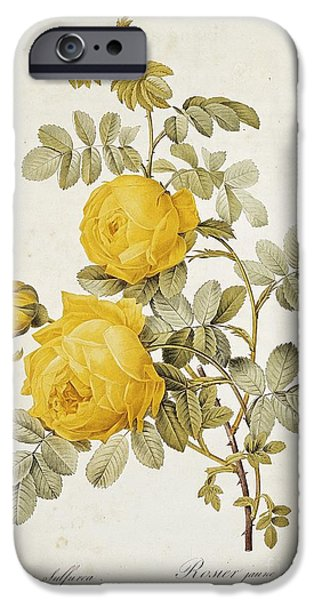 Plant Drawings iPhone Cases - Rosa Sulfurea iPhone Case by Pierre Redoute