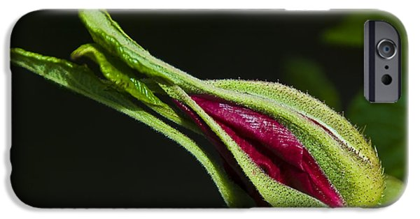 Floral Photographs iPhone Cases - Rose Bud iPhone Case by Svetlana Sewell