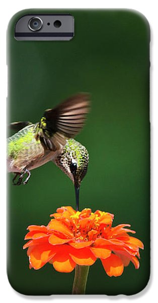 Ruby-Throated Hummingbird Feeding On Orange Zinnia Flower iPhone Case by Christina Rollo