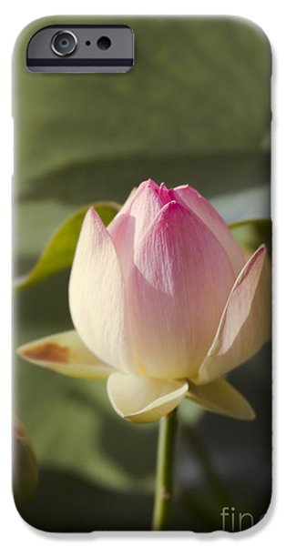 The Tiger iPhone Cases - Sacred Lotus - Nelumbo iPhone Case by Sharon Mau