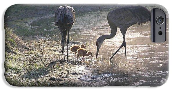 Feeding Birds iPhone Cases - Sandhill Crane Family in Morning Sunshine iPhone Case by Carol Groenen