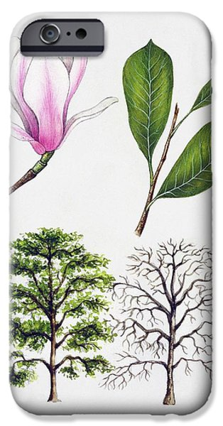Flora Drawings iPhone Cases - Saucer Magnolia iPhone Case by Unknown
