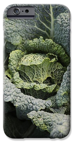 Food Stores iPhone Cases - Savoy Cabbage in the Vegetable Garden iPhone Case by Carol Groenen
