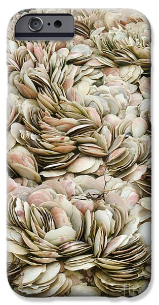 Fauna iPhone Cases - Scallop Shells iPhone Case by Ted Kinsman