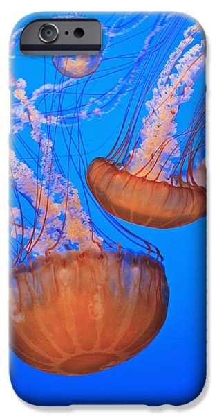 Image Of Jelly Fish iPhone Cases - Sea Nettles Chrysaora Fuscescens In iPhone Case by Stuart Westmorland