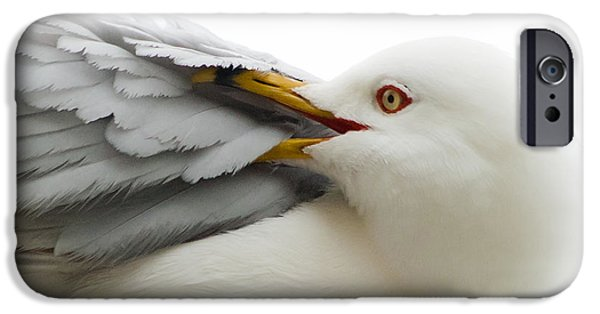 Seagull iPhone Cases - Seagull Pruning his Feathers iPhone Case by Keith Allen