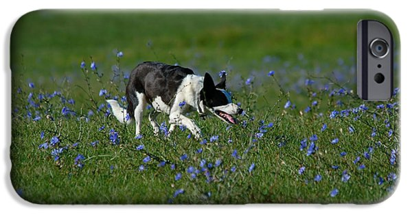 Puppies iPhone Cases - Sheep dog approach iPhone Case by Paul O