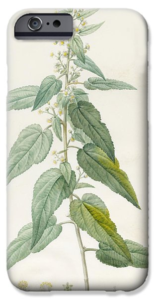 Flora Drawings iPhone Cases - Sida Pulchella iPhone Case by Pierre Joseph Redoute