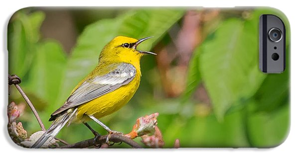 Warbler iPhone Cases - Singing Blue WInged Warbler iPhone Case by Bill Wakeley