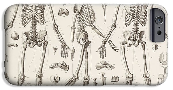 Skeleton Drawings iPhone Cases - Skeleton Of A Fully Grown Human, After iPhone Case by Ken Welsh