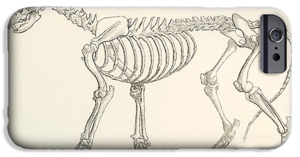 Support Drawings iPhone Cases - Skeleton Of A Lion, Panthera Leo. From iPhone Case by Vintage Design Pics