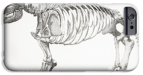 Support Drawings iPhone Cases - Skeleton Of A Mastodon, An Extinct iPhone Case by Vintage Design Pics