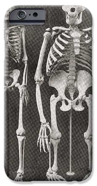 Skeleton Drawings iPhone Cases - Skeletons Of Man, Left, And Gorilla iPhone Case by Ken Welsh