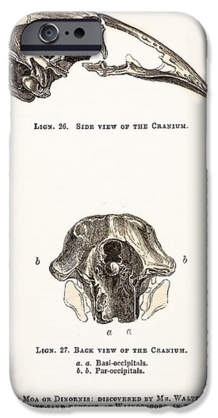 Moa iPhone Cases - Skull Of Moa Or Dinornis, 1851 iPhone Case by Paul D. Stewart