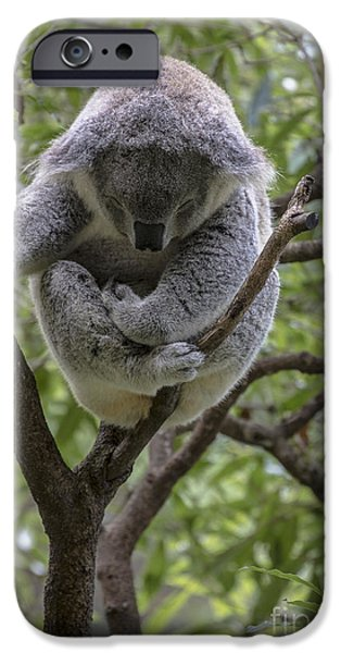 Sleepy koala iPhone Case by Sheila Smart