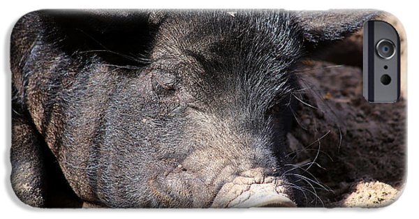 Animals Photographs iPhone Cases - Sleepy Pig iPhone Case by David Stasiak