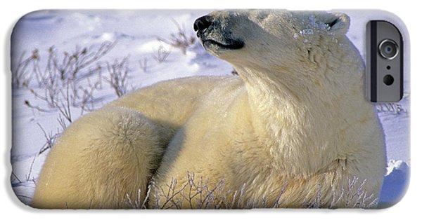 Slumber iPhone Cases - Sleepy Polar Bear iPhone Case by Tony Beck