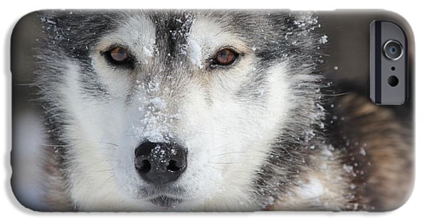 Husky iPhone Cases - Snow Day iPhone Case by Jessie-Mae Dunlop