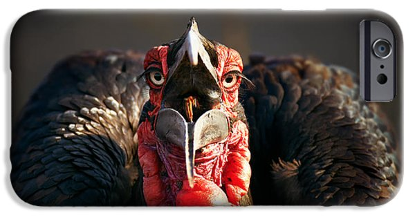 Camera iPhone Cases - Southern Ground Hornbill swallowing a seed iPhone Case by Johan Swanepoel