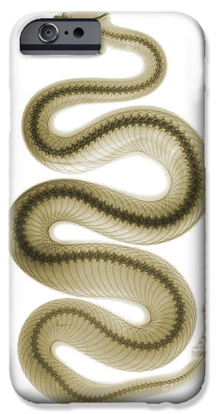 Color Enhanced iPhone Cases - Southern Pacific Rattlesnake, X-ray iPhone Case by Ted Kinsman
