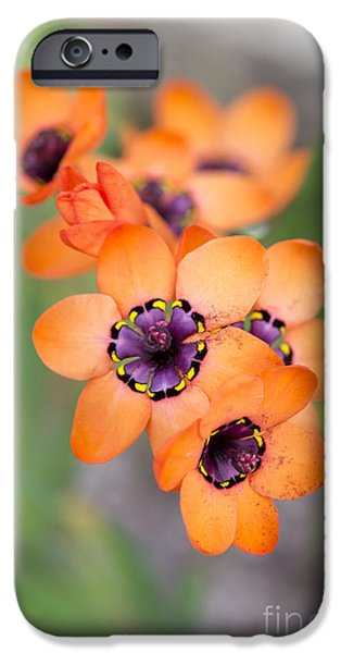 Anther iPhone Cases - Sparaxis Elegans iPhone Case by Tim Gainey