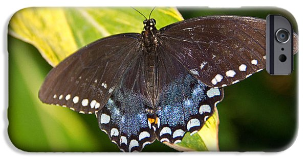 Symbol Of The Soul iPhone Cases - Spicebush Swallowtail iPhone Case by Kelly Holm
