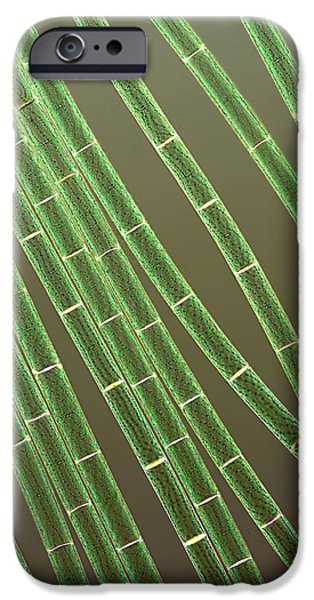 Recently Sold -  - Alga iPhone Cases - Spirogyra Algae, Light Micrograph iPhone Case by Jerzy Gubernator