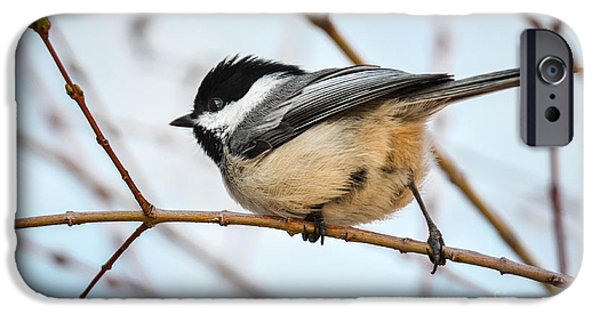 Maine iPhone Cases - Spring Chickadee iPhone Case by Amy Porter